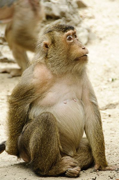 Southern Pig Tailed Macaque - Macaca Nemestrina