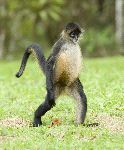 Spider Monkey Walking