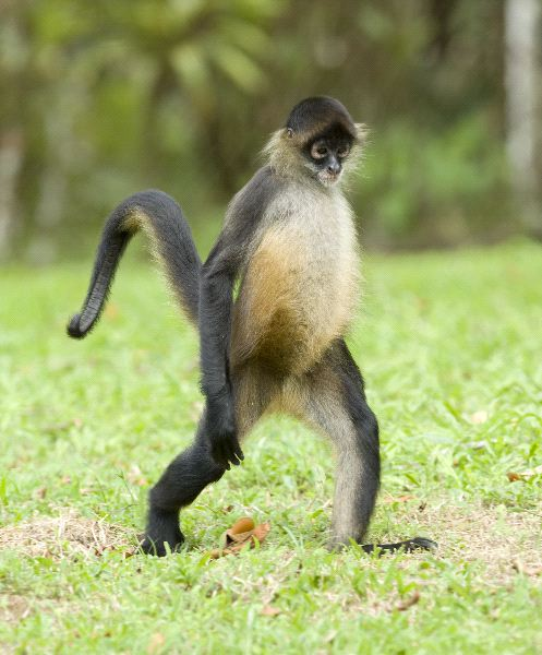 Monkey Walking on Rope - Wallpaper #31037