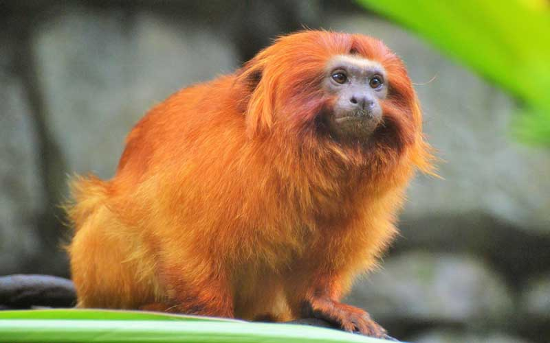 Golden Lion Tamarin - Monkey Facts and Information