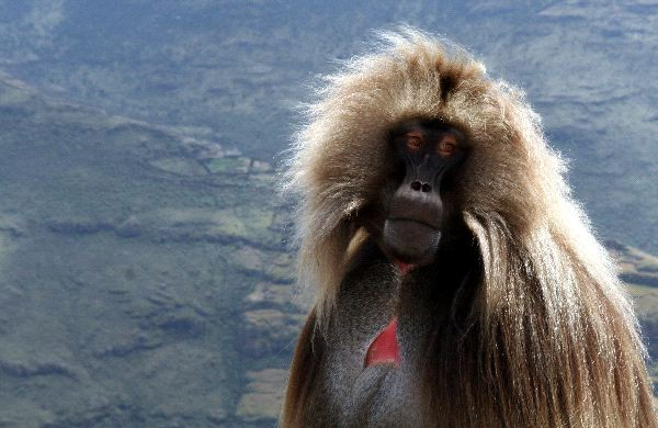 The Large And Robust Gelada Baboon