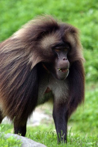 Unique Gelada Baboon Walking