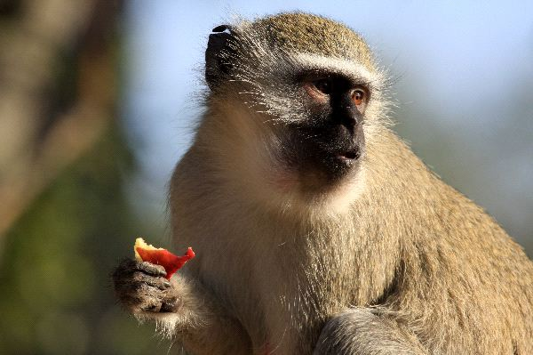 Vervet Monkey Eating Fruit