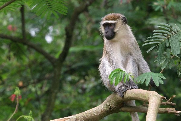 Vervet Monkey Watching From A Tree