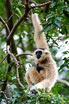 White Gibbon Hanging From A Tree