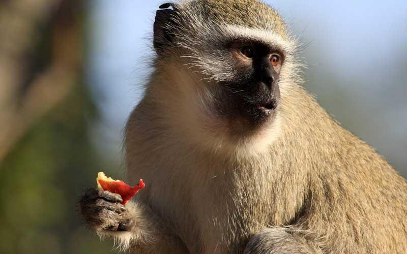 Alimentación de los Monos