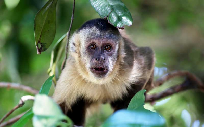 Capuchin Monkey - Monkey Facts and Information