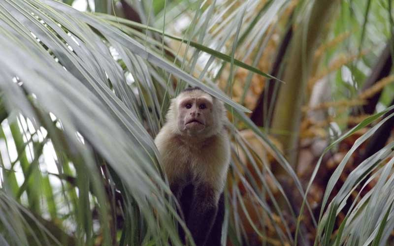 Facts about capuchin monkey.
