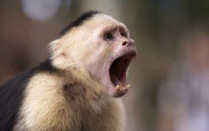 Characteristics of capuchin monkey