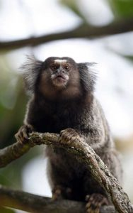 Common marmoset characteristics.