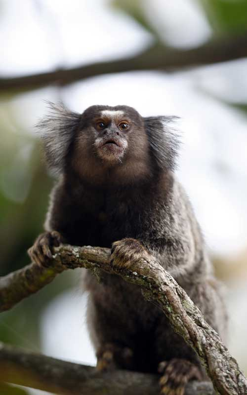 Common marmoset characteristics.