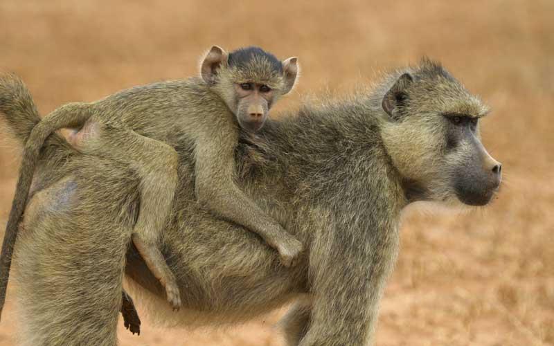 Cortejo y apareamiento de los monos.