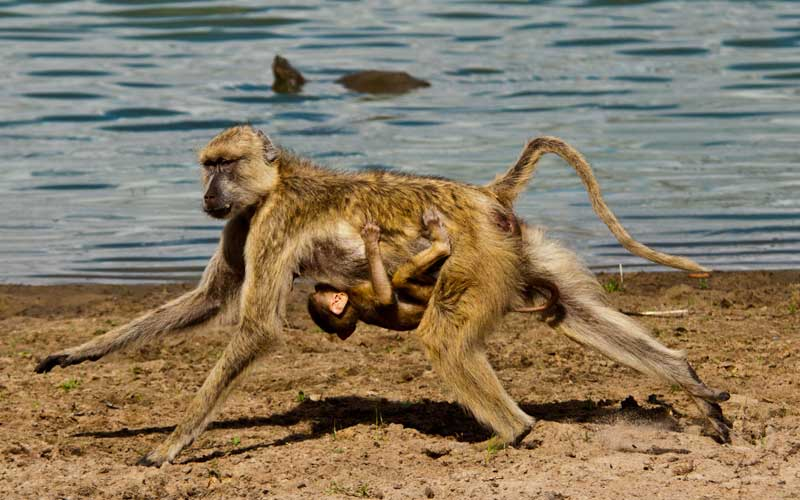Facts about Monkeys - Monkey Facts and Information