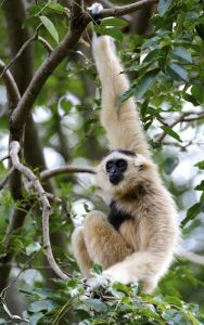 Characteristics of gibbon.