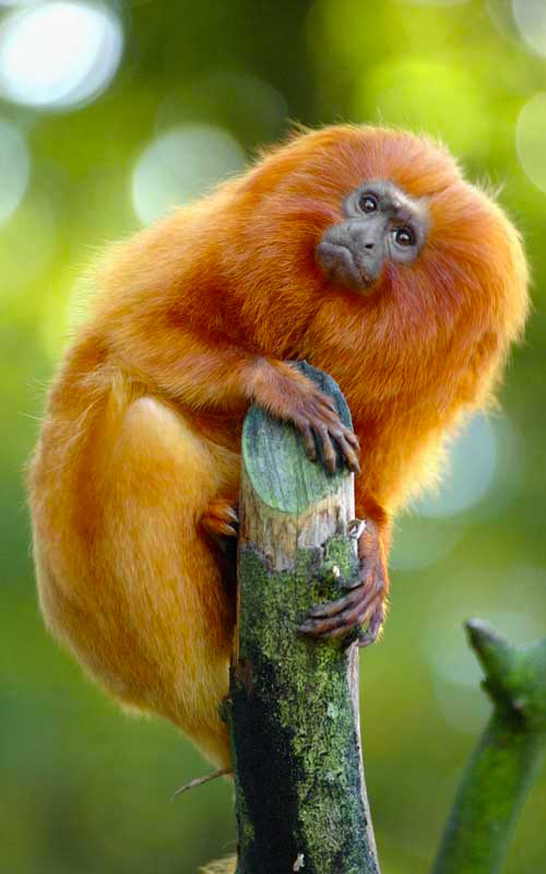 Facts about Golden Lion Tamarin.