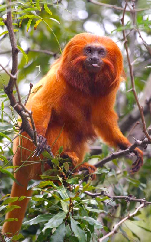 Characteristics of golden lion tamarin.
