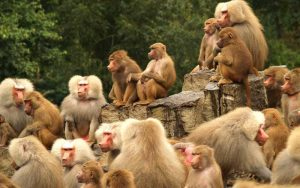 Social hierarchy of monkeys.