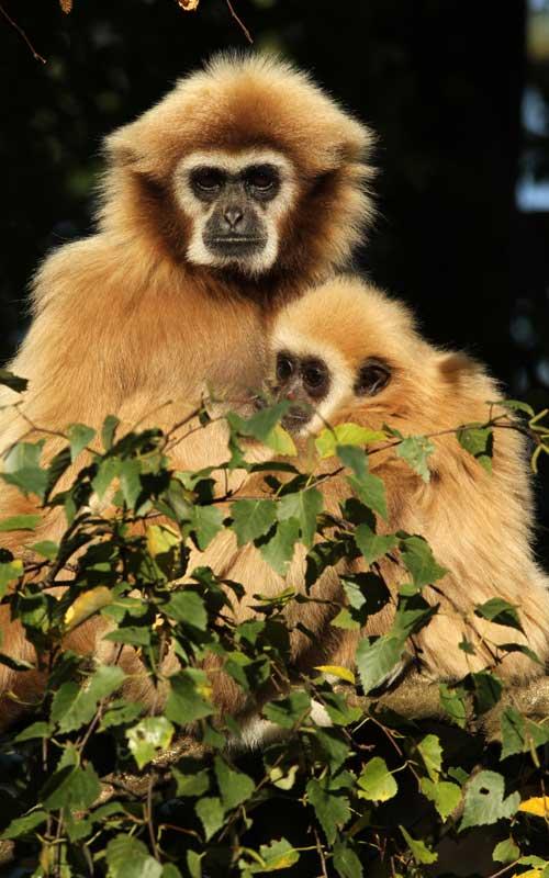 Reproducción de los monos.