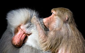 Facts about baboons.