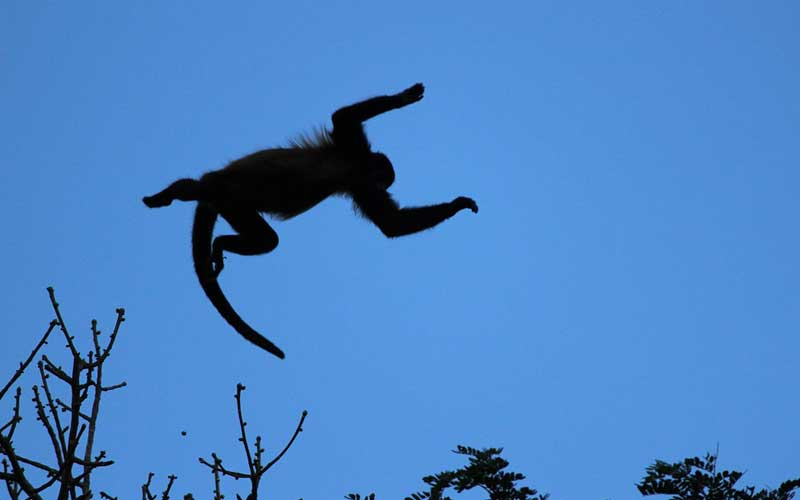 Facts about howler monkey.