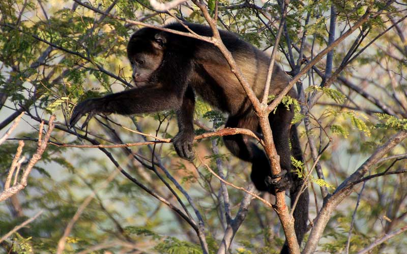 Howler Monkey Monkey Facts And Information