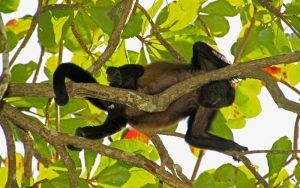 Characteristics of howler monkey.