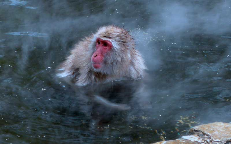 Japanese Macaque Monkey Facts And Information