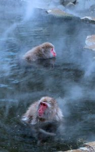 Facts about snow monkeys.