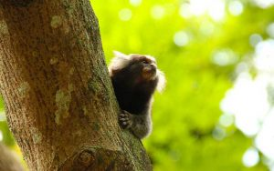 Facts about common marmoset.