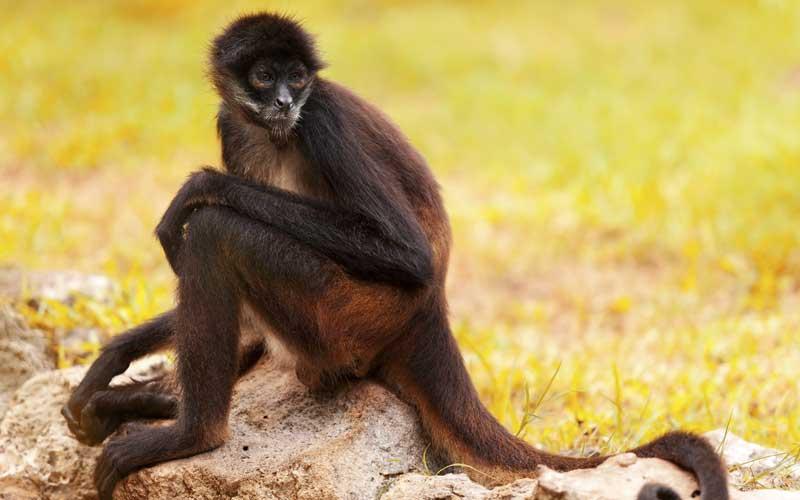Mono Araña - Información y Características de los Monos