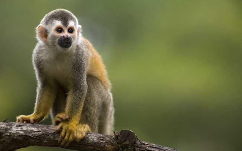 Información sobre el mono ardilla.