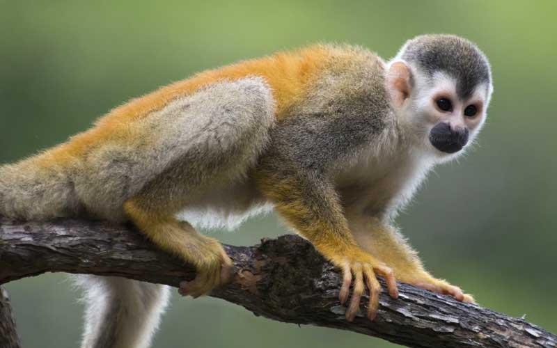 Mono Ardilla - Información y Características de los Monos