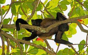 Características del mono aullador.