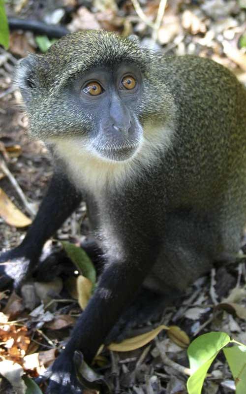 Características del mono azul.