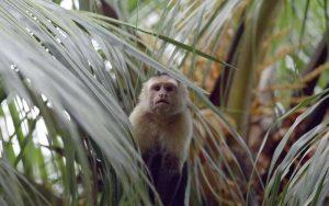 Información sobre el mono capuchino.