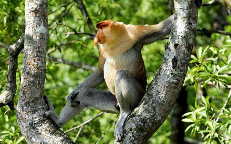 Características del mono narigudo.