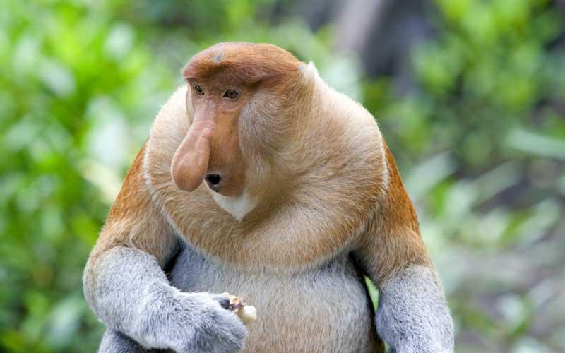 Información del mono násico.