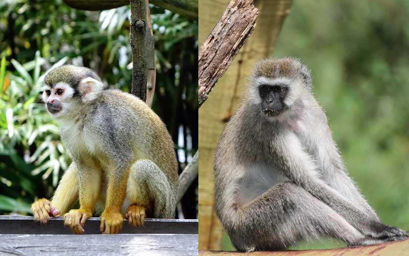 Monos del Nuevo Mundo vs. Monos del Viejo Mundo