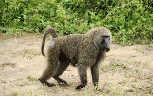 Characteristics of baboons.