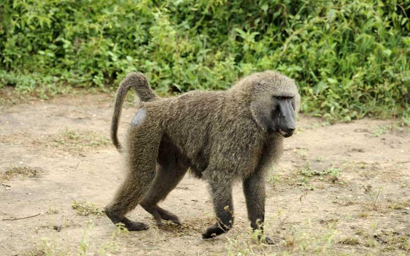 características de los babuinos.