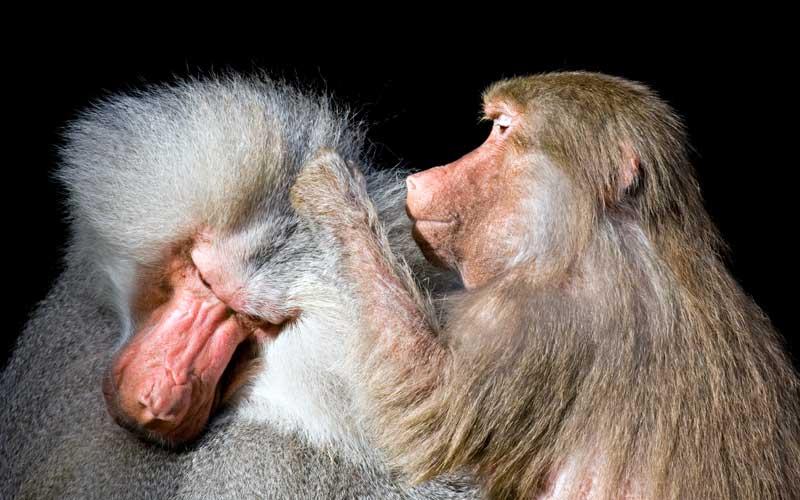Información sobre el babuino.