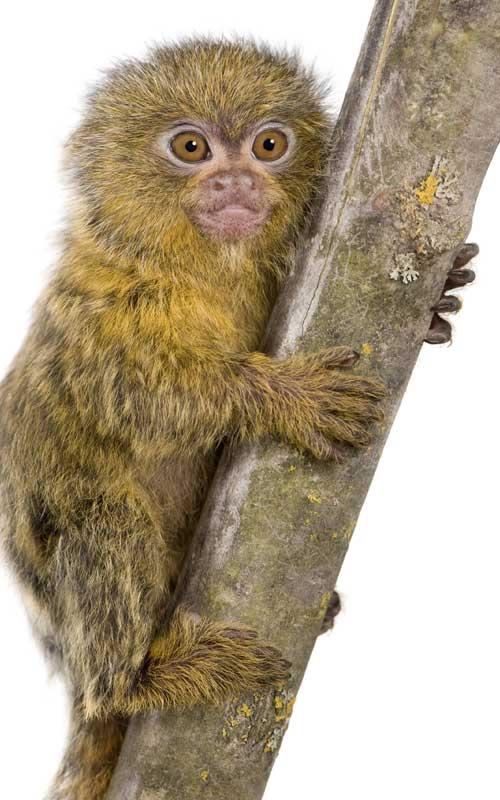 Characteristics of pigmy marmoset.