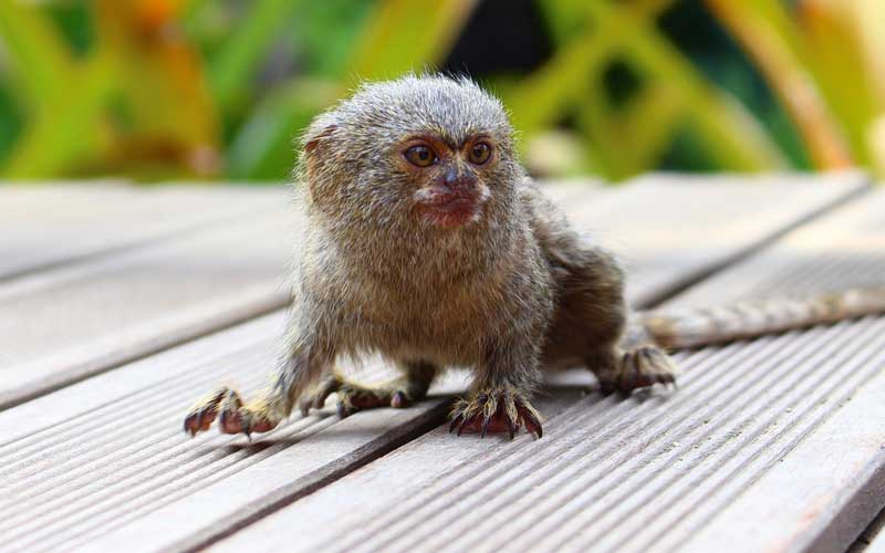 Pygmy Marmoset - Monkey Facts and Information