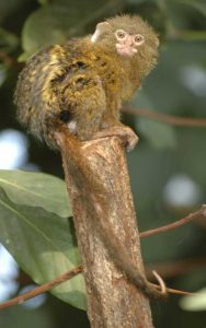 Facts about pygmy marmoset.
