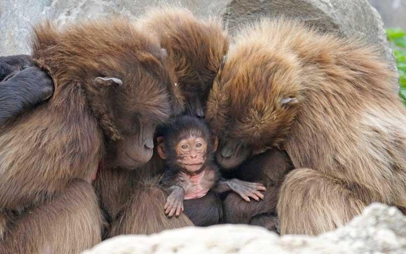 Reproducción de los Monos