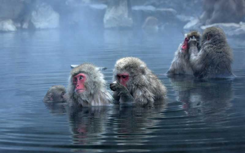 Characteristics of Japanese macaque.