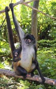 Facts about spider monkey.