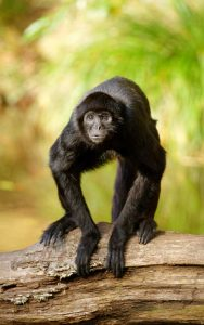 Characteristics of spider monkey.