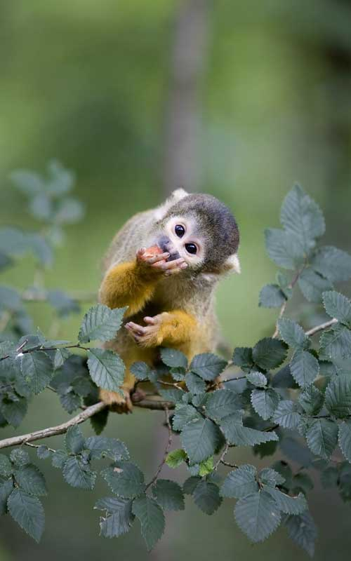 Squirrel monkey characteristics.