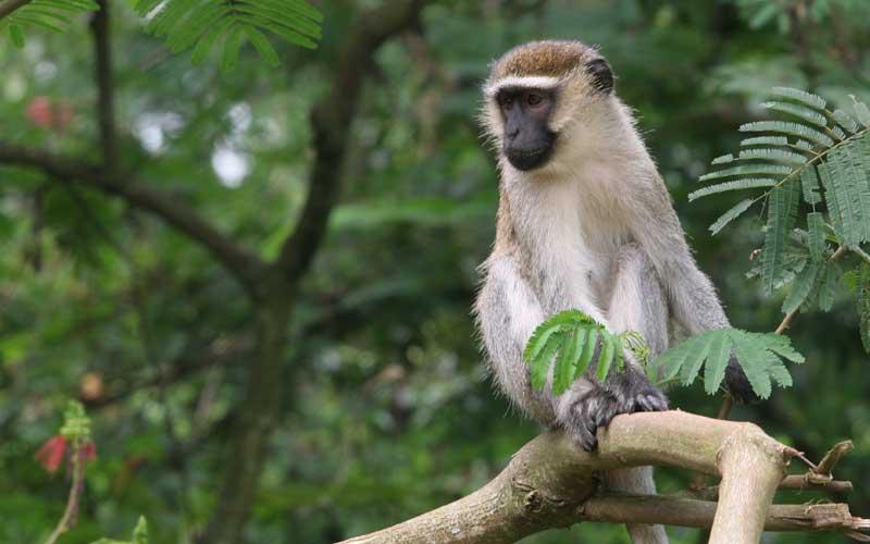 Characteristics of vervet monkeys.